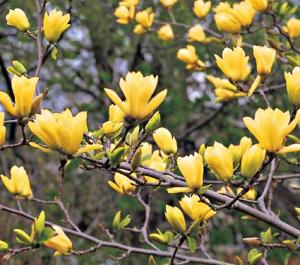 Magnolia duża Daphne Magnolia Daphne