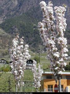 Wiśnia piłkowana Amonagawa Prunus serrulata Amonagawa