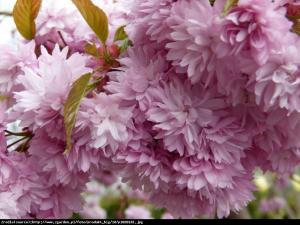 Wiśnia piłkowana kikushidare-zakura... Prunus serrulata kiku-shidare-zakura...