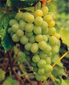 Winorośl Winogrono Prim Vitis Prim