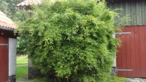 Bambus Dino Fargesia murielae Dino