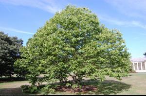 Japońskie Drzewo Rodzynkowe - Howenia sł... Hovenia dulcis