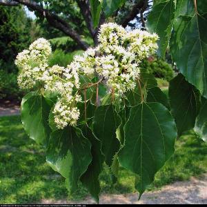 Japońskie Drzewo Rodzynkowe-Howenia słod... Hovenia dulcis