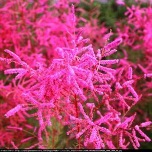 Tamaryszek pięciopręcikowy Pink Cascade... Tamarix ramosissima Pink Cascade