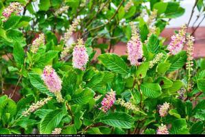 Orszelina olcholistna Ruby Spice Clethra alnifolia Ruby Spice