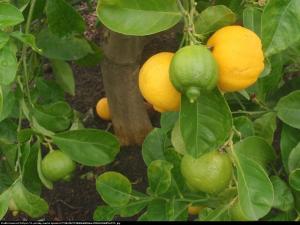 Limetta Rangpur drzewko 70cm Limetta Rossa Di Rangpur (Citrus Limonia)...