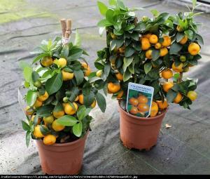Kalamondyna cytrus drzewo 70cm Citrus Mitis