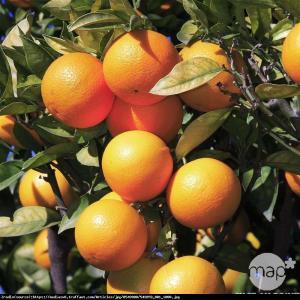 Pomarańcza cytrus drzewko 70cm Citrus sinensis arancio