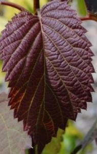 Dawidia chińska 'Crimson Spring' Davidia involucrata 'Crimson Spring'...