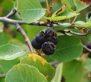 Świdośliwa olcholistna 'Smoky' Amelanchier  alnifolia 'Smoky'