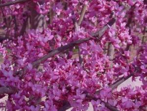 Judaszowiec kanadyjski 'Lavender Twist'... Cercis canadensis 'Lavender Twist'...