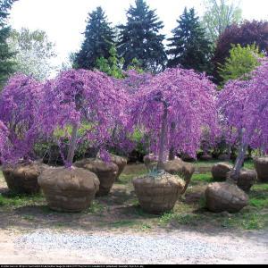 Judaszowiec kanadyjski Lavender Twist... Cercis canadensis Lavender Twist