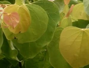 Judaszowiec kanadyjski 'The Rising Sun'... Cercis canadensis 'The Rising Sun'...