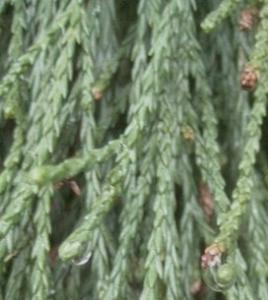 Mamutowiec olbrzymi (sekwoja olbrzymia) 'P... Sequoiadendron giganteum 'Pendulum'...