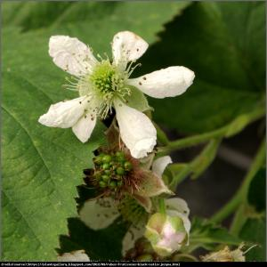 Jeżyna bezkolcowa Black Satin Rubus fruticosa  Black Satin
