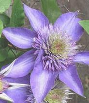 Powojnik 'Multi Blue' Clematis 'Multi Blue'