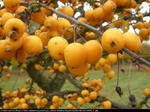 Jabłoń Golden Hornet Malus Golden Hornet