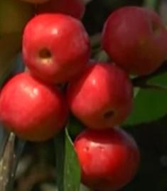 Jabłoń 'Red Sentinel' Malus 'Red Sentinel'