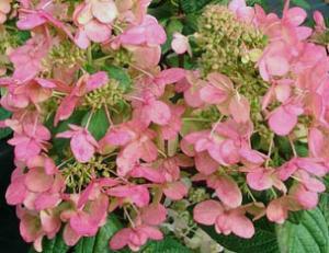 Hortensja bukietowa 'Magical Flame'... Hydrangea paniculata 'Magical Flame'...