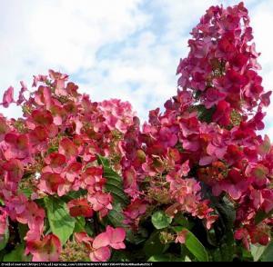 Hortensja bukietowa Magical Flame Hydrangea paniculata Magical Flame...