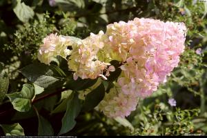 Hortensja bukietowa Magical Sweet Summer... Hydrangea paniculata Magical Sweet Summer...