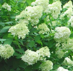 Hortensja bukietowa 'Magical Moonlight'... Hydrangea paniculata 'Magical Moonlight'...