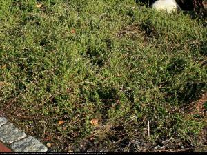 Żurawina wielkoowocowa Pilgrim Vaccinium macrocarpon Pilgrim