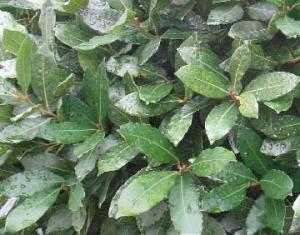 Wawrzyn szlachetny (Drzewo laurowe)... Laurus nobilis