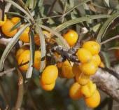 Rokitnik pospolity Botaniczeskaja Hippophaë rhamnoides Botaniczeskaja...