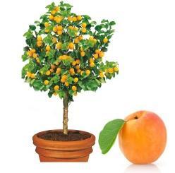 mini Morela 'ApriGold®' Prunus armeniaca 'ApriGold®'