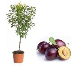 mini Śliwa 'Robusto®' - Prunus 'Robusto®'