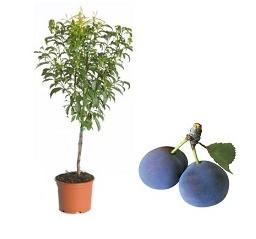 mini Śliwa 'Buhler®' - Prunus 'Buhler®'