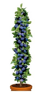 Śliwa kolumnowa Imperial - Prunus Imperial