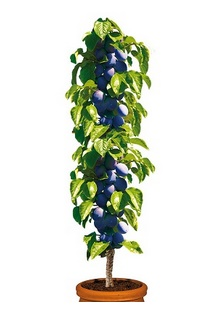 Śliwa kolumnowa 'Fruca®' - Prunus 'Fruca®'