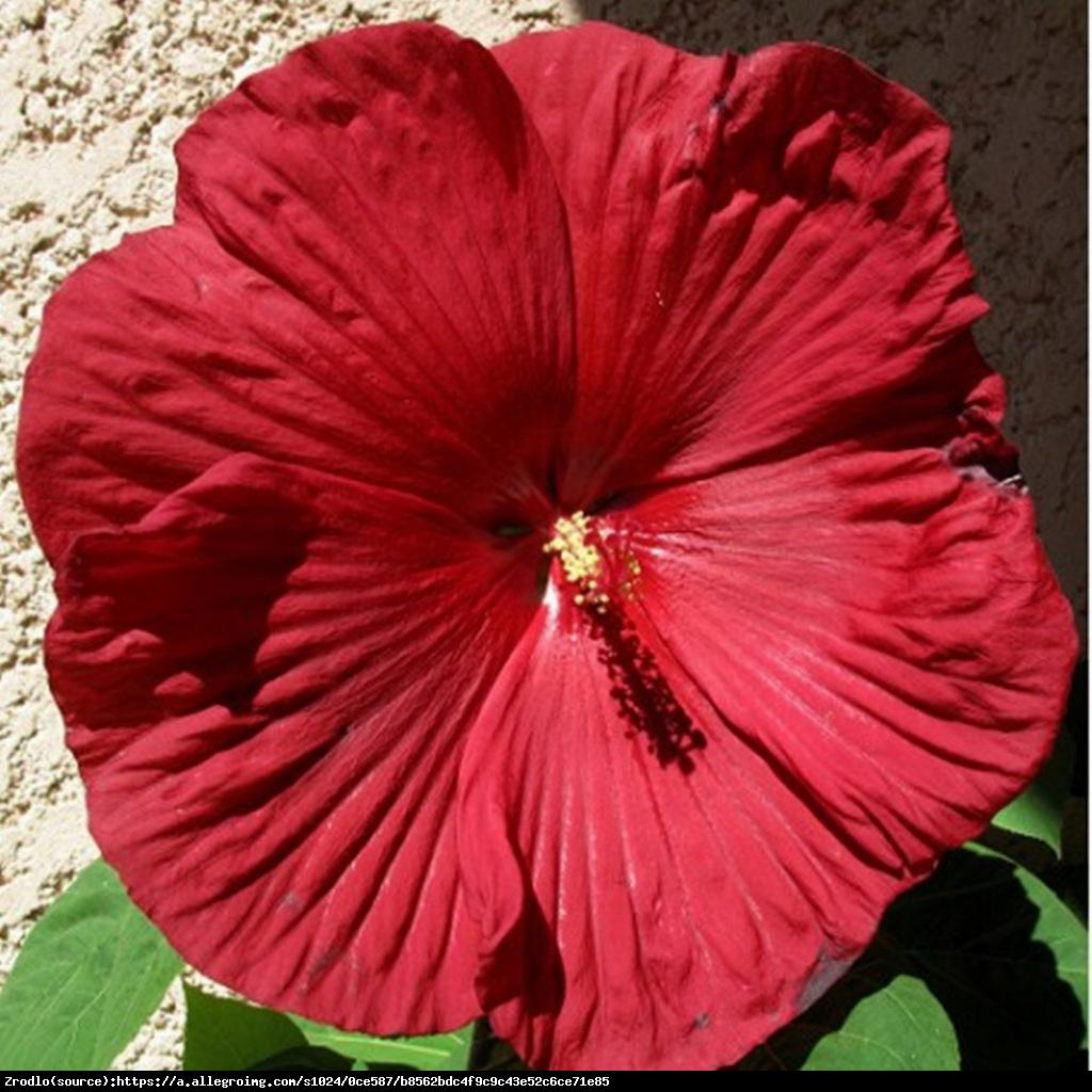 Hibiskus bylinowy Fireball - Hibiscus moscheutos Fireball