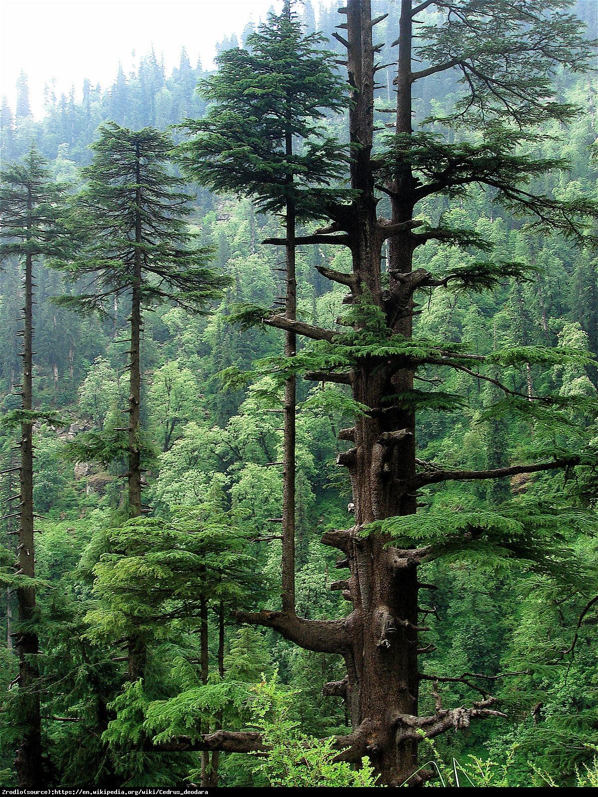 Cedr himalajski - Cedrus deodara
