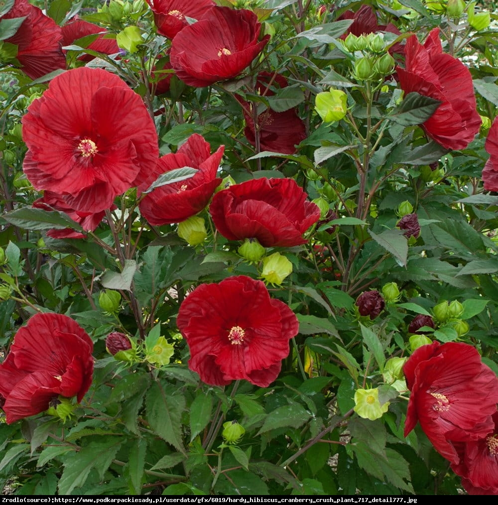 Hibiskus bylinowy Cranberry Crush - KWIAT 20 cm średnicy!!! - Hibiscus moscheutos Cranberry Crush