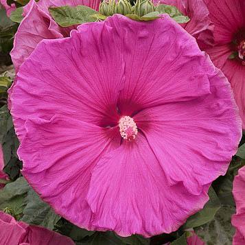Hibiskus bylinowy Jazzberry Jam - KWIAT 25 cm średnicy!!! - Hibiscus moscheutos Jazzberry Jam