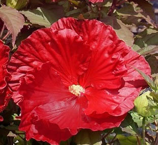 Hibiskus bylinowy 'Robert Fleming' - Hibiscus moscheutos 'Robert Fleming'