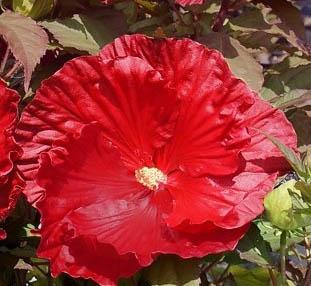 Hibiskus bylinowy Robert Fleming - Hibiscus moscheutos Robert Fleming