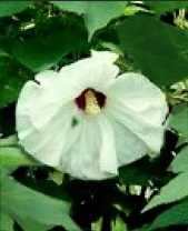 Hibiskus bylinowy Old Yella - Hibiscus moscheutos Old Yella
