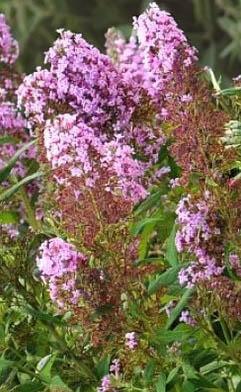 Budleja Dawida 'Flutterby Pink' - Buddleja davidii 'Flutterby Pink'