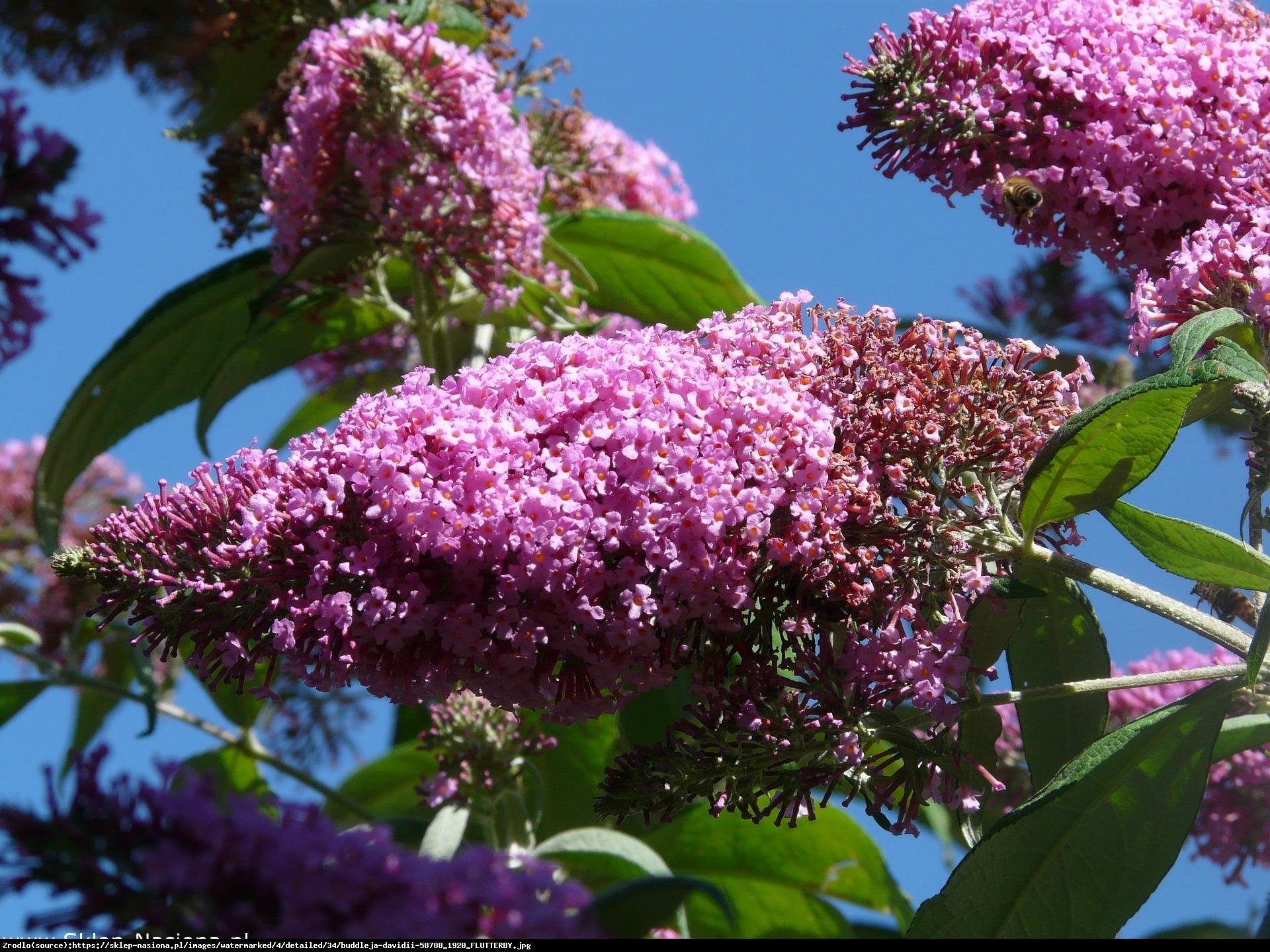 Budleja Dawida Flutterby Pink - Buddleja davidii Flutterby Pink