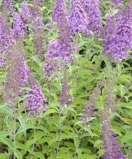 Budleja Dawida 'Flutterby Lavender' - Buddleja davidii 'Flutterby Lavender'