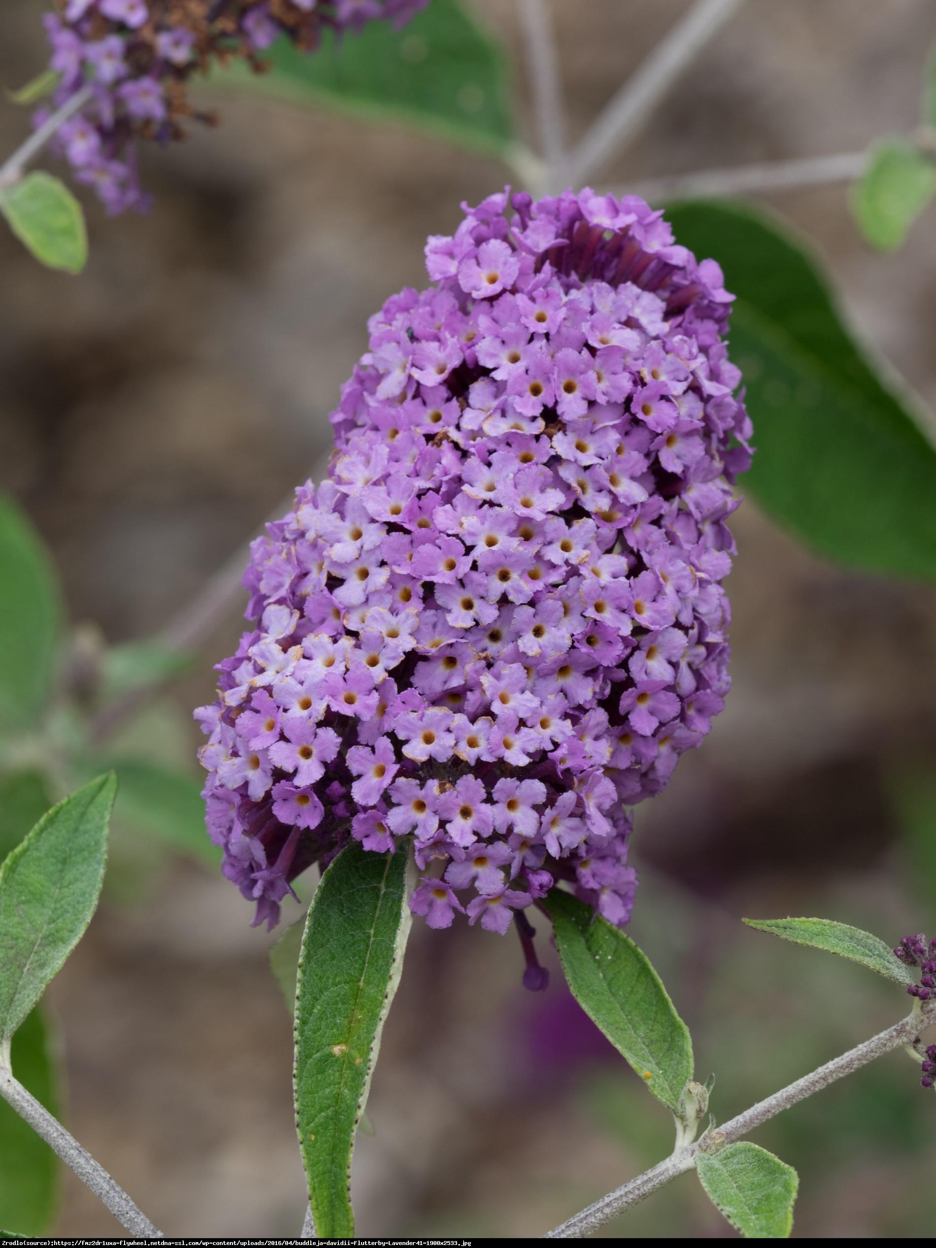 Budleja Dawida Flutterby Lavender - Buddleja davidii Flutterby Lavender
