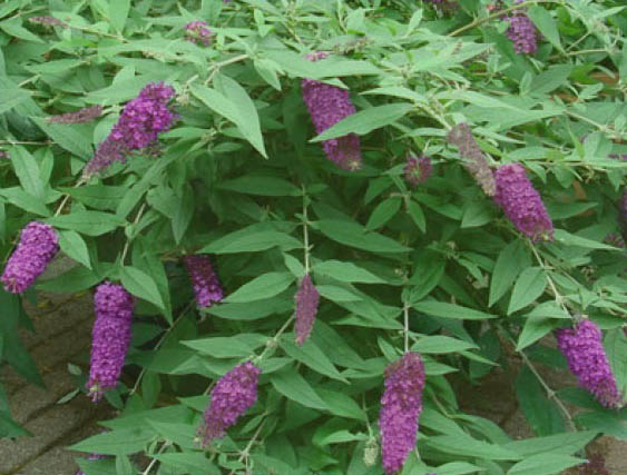 Budleja 'Dreaming Purple' - Buddleja 'Dreaming Purple'