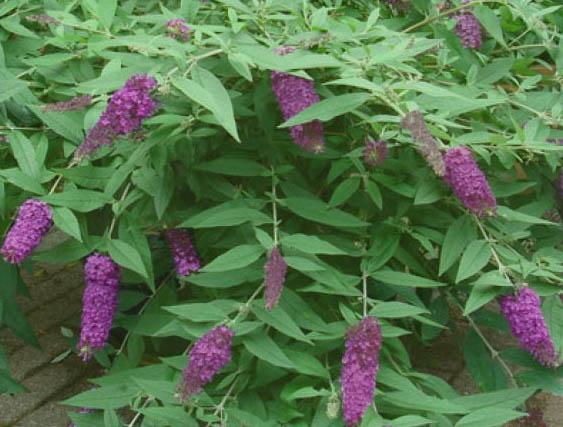 Budleja 'Dreaming Purple' - Buddleja 'Dreaming Purple'