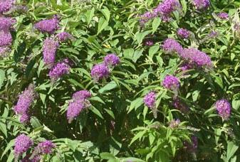 Budleja 'Dreaming Lavender' - Buddleja 'Dreaming Lavender'