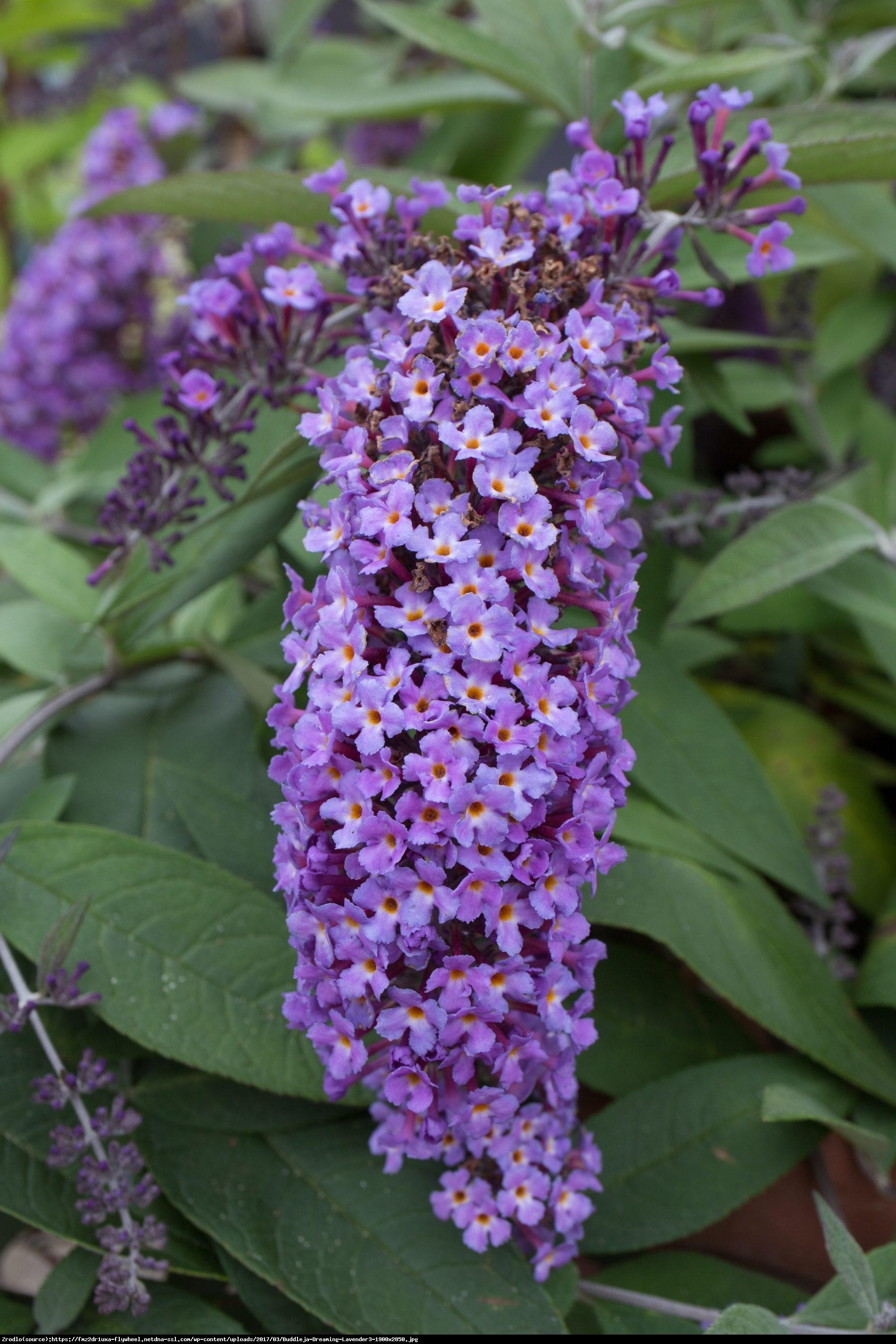 Budleja Dreaming Lavender - Buddleja Dreaming Lavender