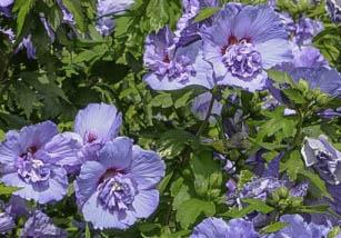 Ketmia syryjska \'Blue Chiffon\' - Hibiscus syriacus \'Blue Chiffon\'